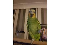 Amazon orange tailed parrot