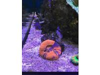 Scolymia - Scoly - Marine - Coral