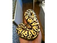 cb17 female firefly ball python
