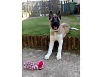 American akita pup for sale