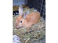 Ginger blonde rabbit