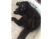 Cute warm hearted black kitten needs a new home
