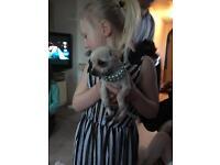 10 week girl chihuahua
