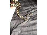 Male Carpet Python Snake No.10