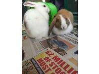Two male microchipped rabbits for sale with cages