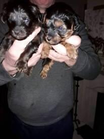 Yorkie/toy poodle (yorkiepoos)