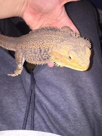 2 year old bearded dragon with 4 foot set up