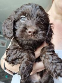 F1 black, chocolate and merle cockapoo puppies