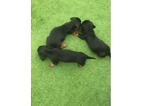 ‼️ 2 Left Miniature dachshunds‼️£995