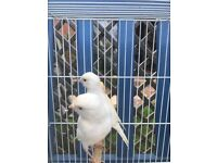 This Year's Young Canaries For Sale