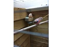 Bourke's parakeets for sale - and aviary.