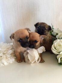 Chihuahua x Pekingese puppy's