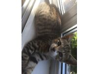 Tabby kitten for sale can be collected today