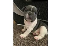 REDUCED! ONLY BOYS LEFT !!KC reg french bulldogs DM/JHC CLEAR.