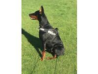 Dobrman dog for sale