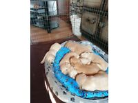 Golden Retriever Pups - KC Reg'd