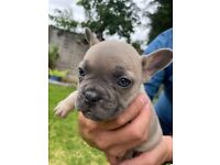 French bulldogs kc puppies