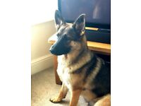 Beautiful Female German Shepherd – 13 months old