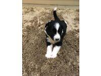 KC registered Border Collie Pups