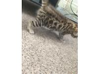 Stunning silver female bengal kittens for sale