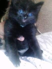 Beautiful kitten (1 left