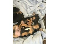 Rare Black and Tan jack Russell puppy's
