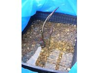 Water Lily planted in a 24cm (6 litres approx.) square basket with aquatic compost ready for
