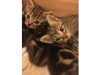 Bengal x kittens boys