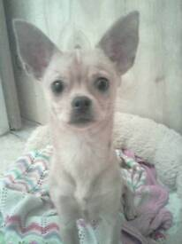 6 month old Chihuahua