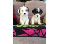 Shih-Tzu X Jack Russell puppies!