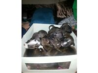 Staff puppies for sale