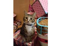 **MISSING** OUR FAMILY PET TABBY CAT PEPSI ****NOT SELLING****