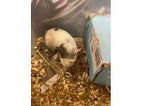 One Female and three male guinea pigs for sale.