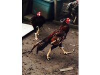 ASEEL STAG 1 YEAR OLD AND HEN (COMES AS A PAIR)