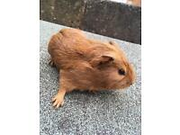 3 baby boy Guinea pigs for sale.