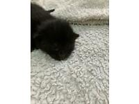 2 male black kittens ready beginning of june
