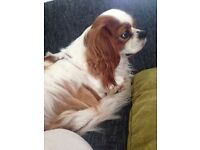 Cavalier King Charles 20 months old