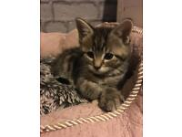 Solid tabby female, x Maine coon