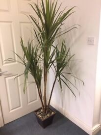 Tall Artificial Office Plant 1.9 Metres in Perfect Condition