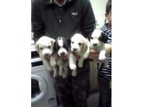 beagle x cocker spaniel pups ready now