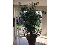 Large house plant (Sold)