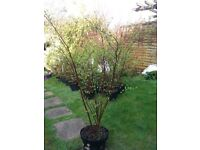 Spiraea x Vanhouttei x 19. White flowers 1mtr tall. 7.5 ltr pots All 19 for £120.00 o.n.o.