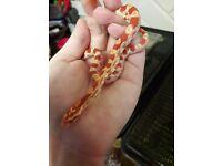 Amel Het Anery Strawberry Motley corn snake