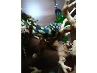 Bearded Dragon and Jungle Carpet Python with complete set up