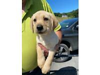 Golden Labrador Pups