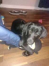 Black KC Registered Lab Puppy for rehoming