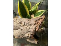 *LOOKING* for a female crested gecko