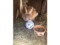 Female beige rabbit for sale