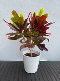 XL House plant and ceramic pot 19cm Croton tree