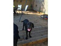 Beautiful 6 month black female Labrador for sale